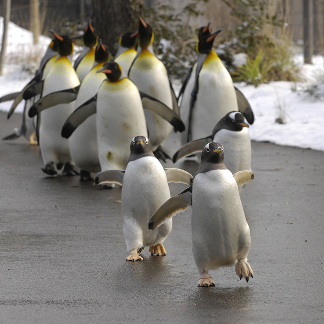 Der Pinguinspaziergang im Zolli.